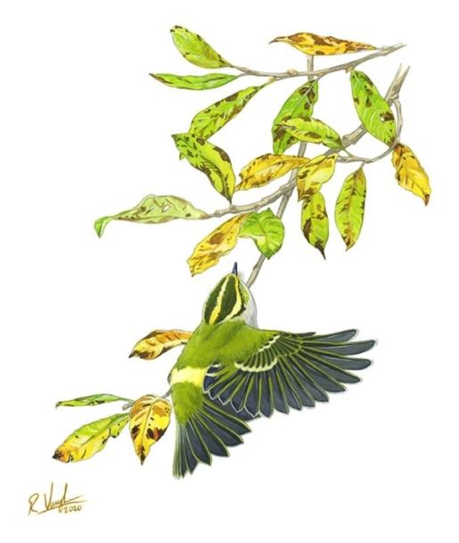 Pallas Warbler