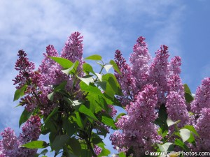 08 Lilacs