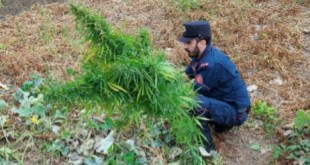 Colliano, piante di cannabis sequestrate dai Carabinieri Forestali