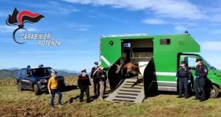 San Fele, in libertà un Cervo salvato e curato dai Carabinieri – Video