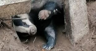 Tolve, un esemplare di Tasso liberato dalla Polizia Ambientale Regionale