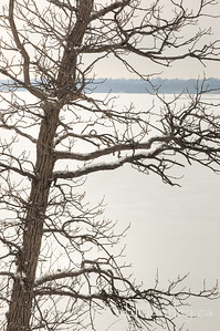 A tree along the Ottawa River shoreline in winter.