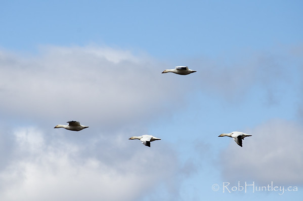 Flying into a headwind, snow geese migration stopover at Saint-Antoine-de-Tilly, Quebec on the St. Lawrence River