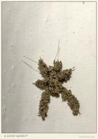 sand-spider