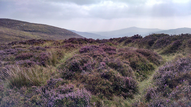 The heather in bloom in Ireland