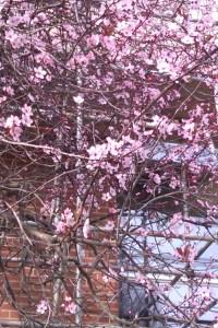 Blossom on campus, Spring 2012