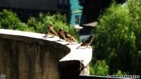 Rândunici, făcând gâlceavă mare pe balcon