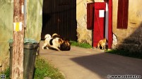 Luptă de câini