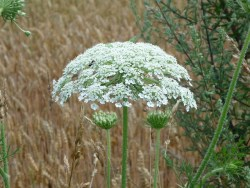 heracleum mantegazzianum