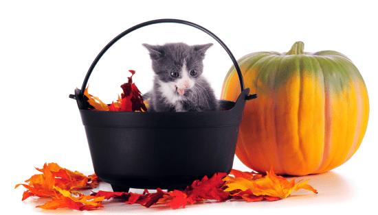 fall season pumpkin kitty cat