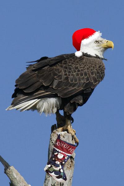 Bald Eagle Christmas Card
