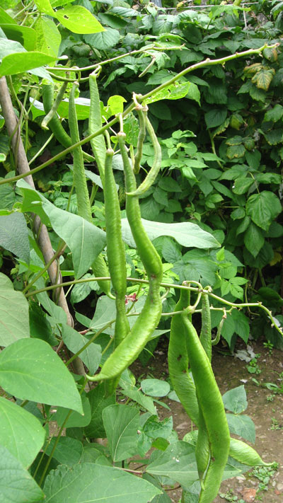 Runner beans growing in spite of a cold, wet August