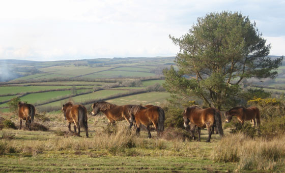 Exmoor ponies photographed by Robert Zarywacz in March 2008