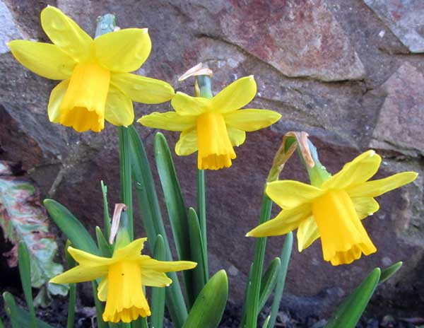 Daffodils in garden in Ilfracombe, North Devon