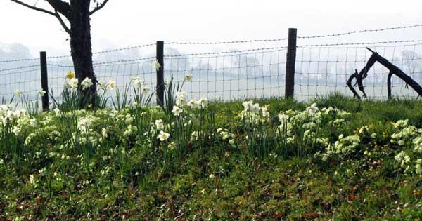 Primroses in North Devon