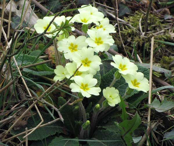 Primroses in North Devon