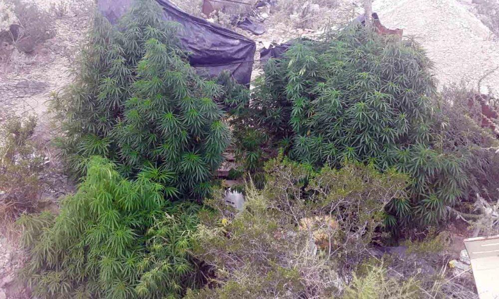 Secuestraron 29 plantas de marihuana en una toma de la zona norte