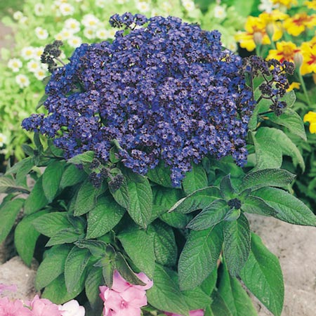 Heliotrope Marine Seeds Roceco Ecological Products