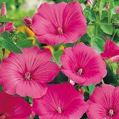 Lavatera trimestris Loveliness Seeds