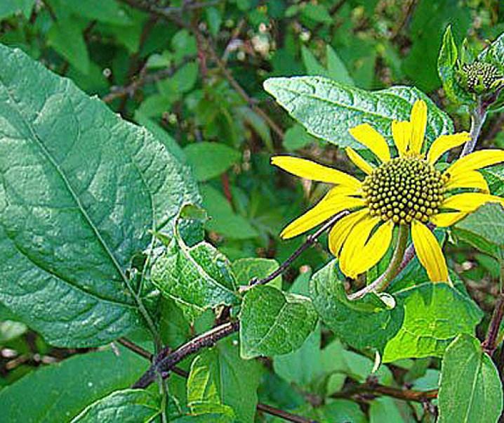 Palo negro (Leptocarpha rivularis DC.) arbusto chileno de interesantes cualidades entre éstas anticancerígenas