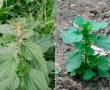 La ortiga mayor, Urtica dioica, sería una de las plantas medicinales más interesantes