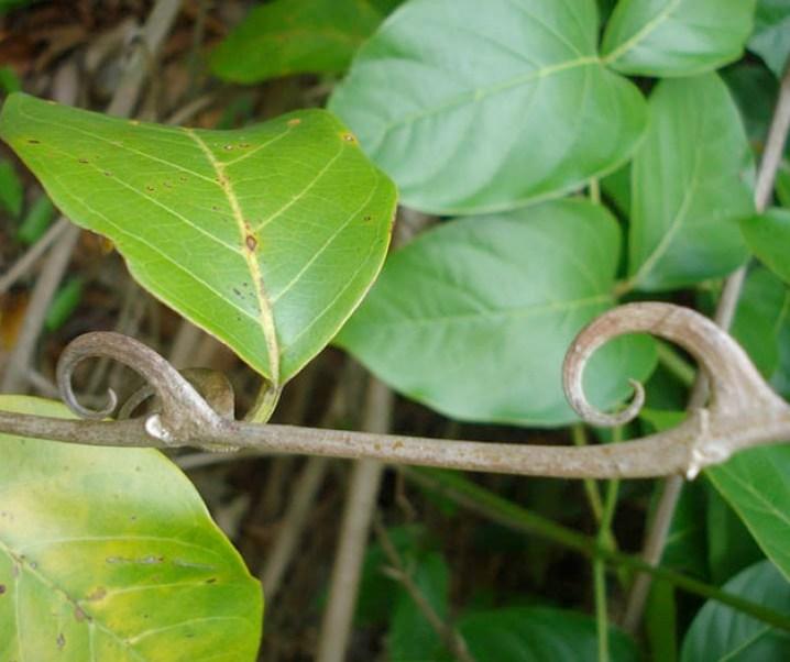 La uña de gato (Uncaria tomentosa) extraordinaria planta medicinal, de un amplio espectro. Refuerza sistema inmunológico. Gran anticancerígeno