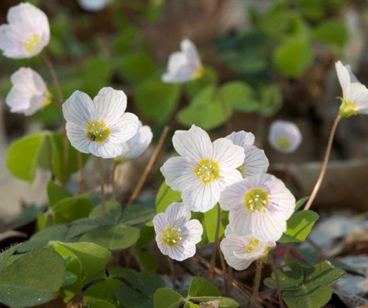 Aleluya, Oxalis acetosella, interesante planta por sus usos medicinales, parcialmente alimentarios; su uso debe ser precavido pues puede ser riesgoso para la salud