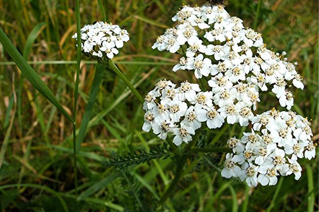 Milenrama (Achillea millefolium L,) interesante planta medicinal ...