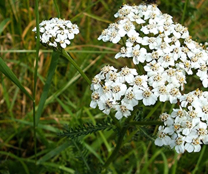 Milenrama (Achillea millefolium L,) interesante planta medicinal de efectos multiples