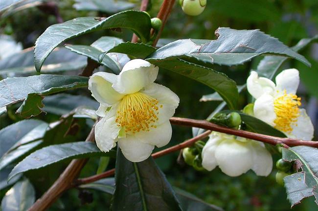 Camellia Sinensis Te