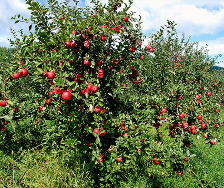 Manzano, propiedades alimenticias y medicinales de su fruta. Pepas o semillas anticancerígenas