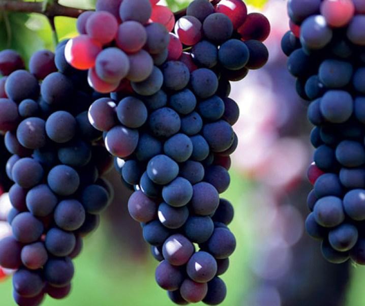 La uva, un gran alimento y de grandes cualidades medicinales, especialmente sus pepas que serían anticancerígenas