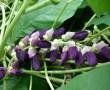 Cardo mariano (Silybum marianum), valiosa planta medicinal especialmente para problemas hepáticos. Además maleza dañina