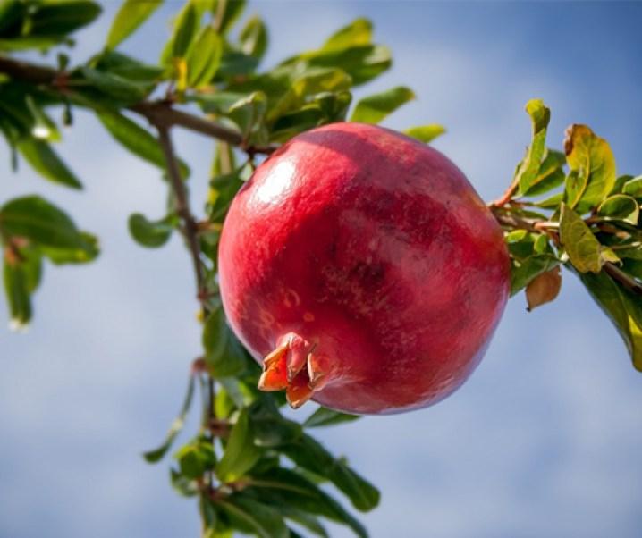 El granado y su fruta, de grandes propiedades alimenticias y medicinales. Sería un importante anticancerígeno