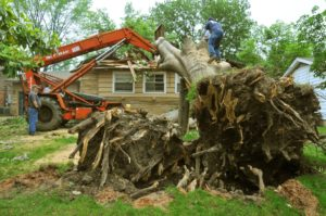 tree being uprooted