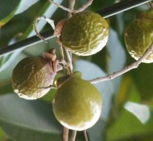 soap nuts tree