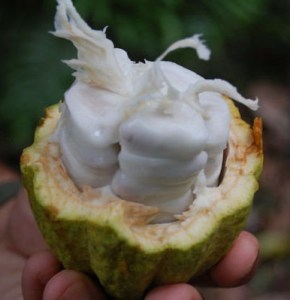 cocoa butter inside pod