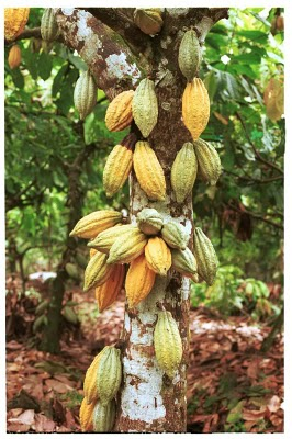 cocoa butter tree