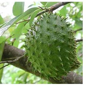 Graviola Fruit Tree