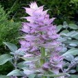 essential oil clary sage