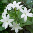 essential oil jasmine flower
