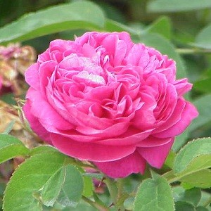 essential oil damask rose & jojoba