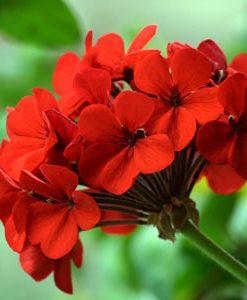 essential oil geranium