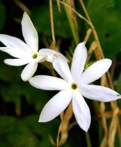 essential oil jasmine & Jojoba