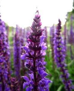 essential oil lavender 2