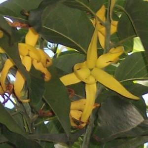 essential oil ylang ylang 2