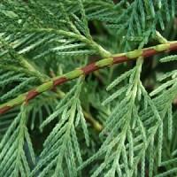 essential oil cypress