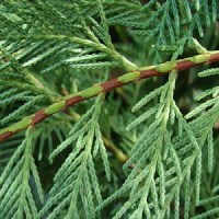 essential oil cypress