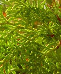 essential oil cypress 2