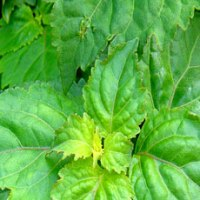 essential oil patchouli 2